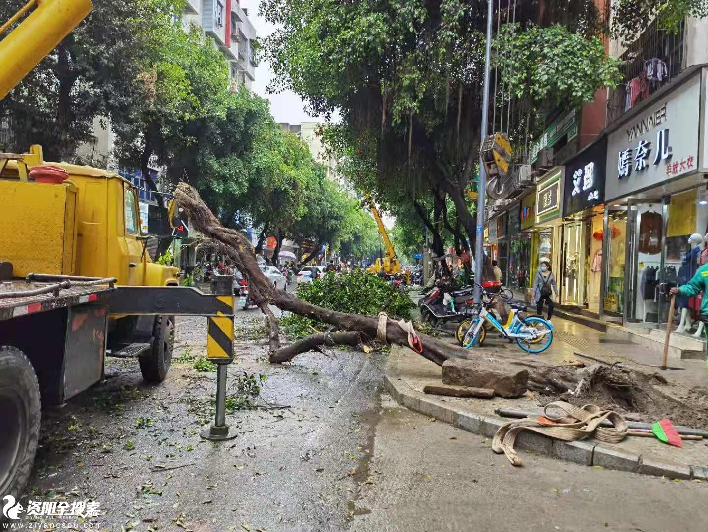 """大雨+大风,资阳上西街的道旁树""""挺""""不住倒下了"""